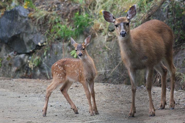 野生動物 鹿